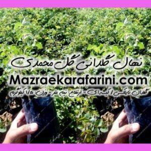 نهال گلدانی گل محمدی
