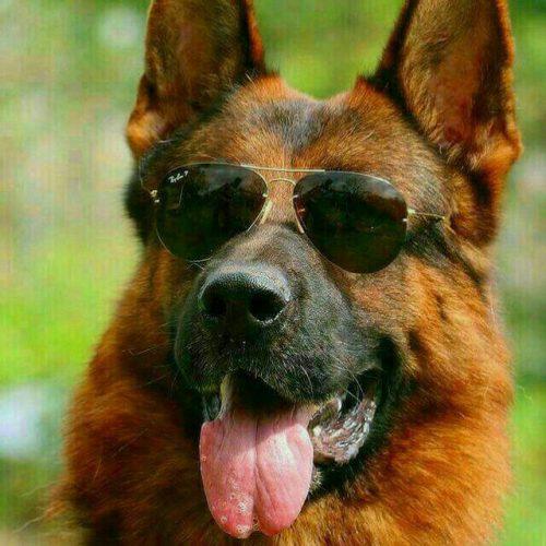سگ ژرمن حرفه ای آماده نگهبانی آموزش دیده