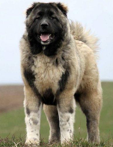 سگ قفقازی اصیل به ضمانت
