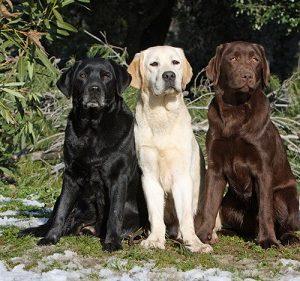 فروش سگ لابرادور رتریور