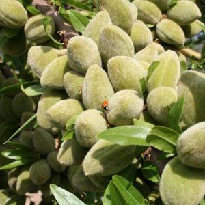 فروش عمده نهال میوه